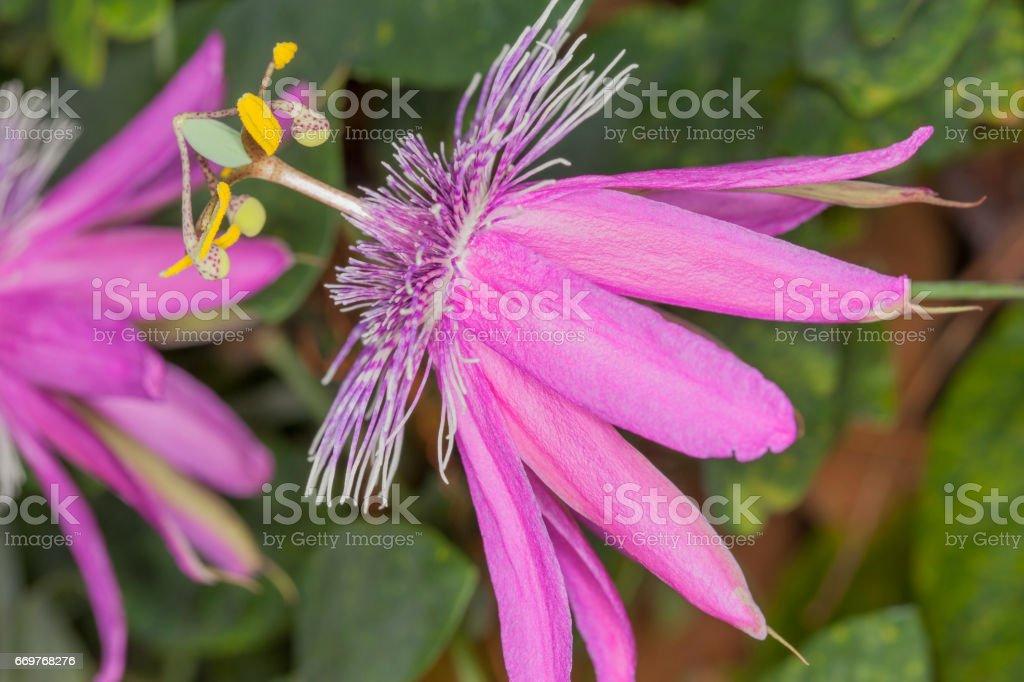Passion flowers on vine stock photo