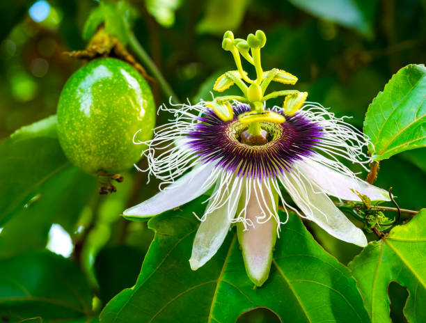 passion fruit and flower - passiflora foto e immagini stock