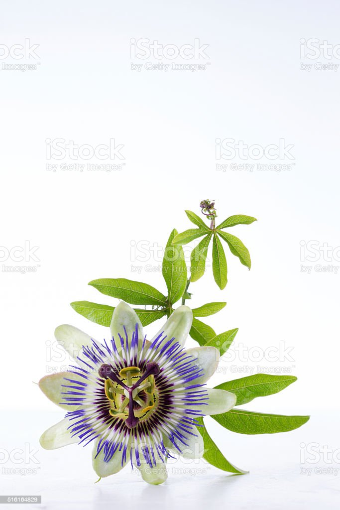 Passion Fruit Flower and Leaves Isolated on white with clipping stock photo