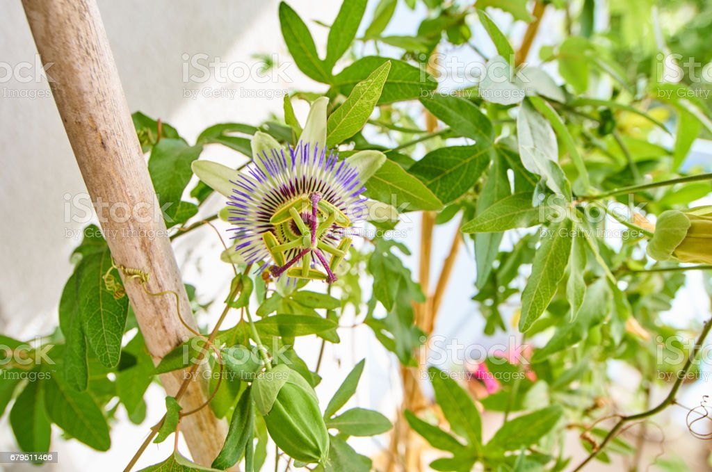 Passion fruit flower in wide angle shot royalty-free stock photo
