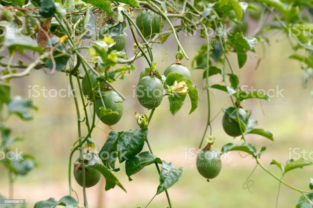 Passion Fruit growing stock photo