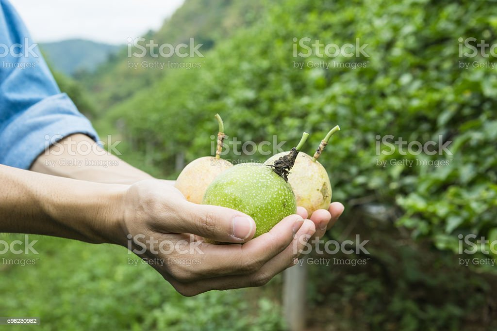 Passion fruit in hand and passion fruit plantation foto royalty-free