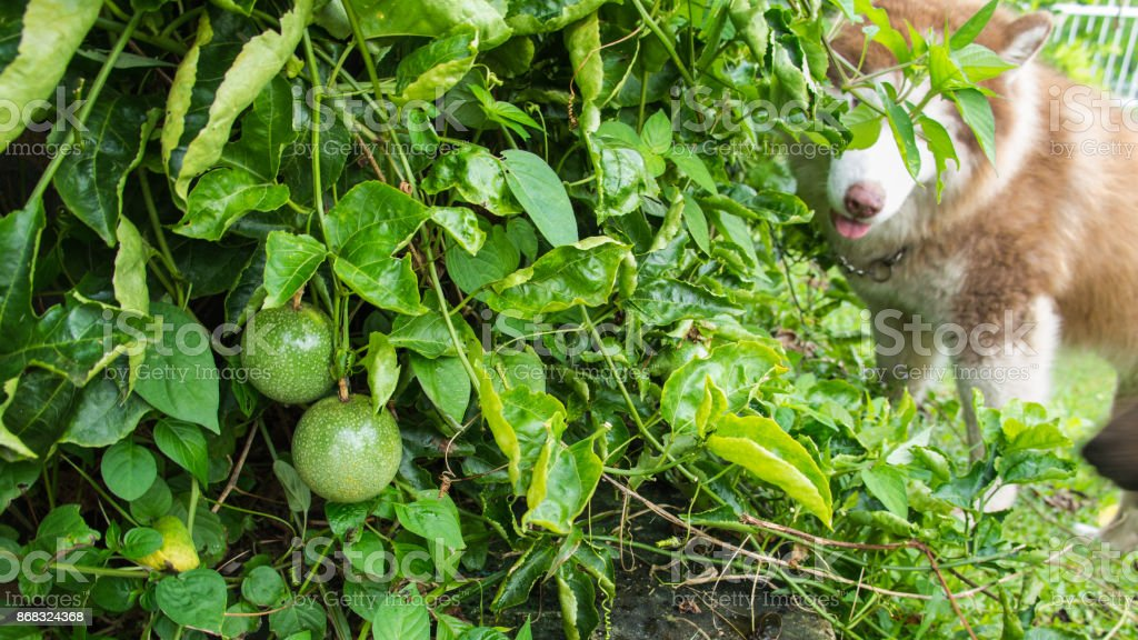 Passion Fruit in The Garden with Dog stock photo