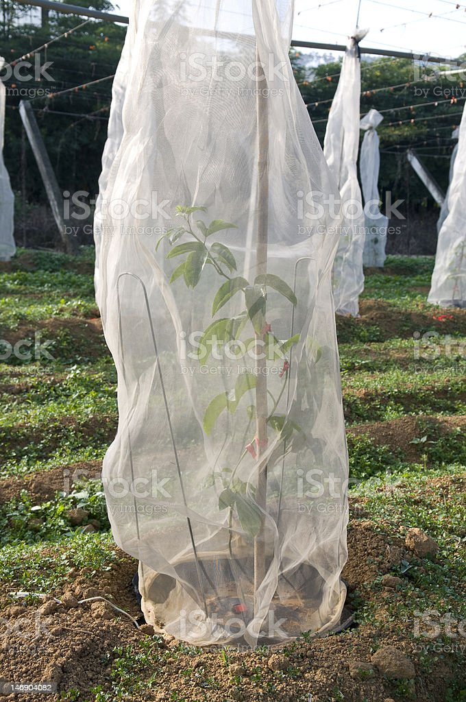 Passion Fruit Orchard  royalty-free stock photo