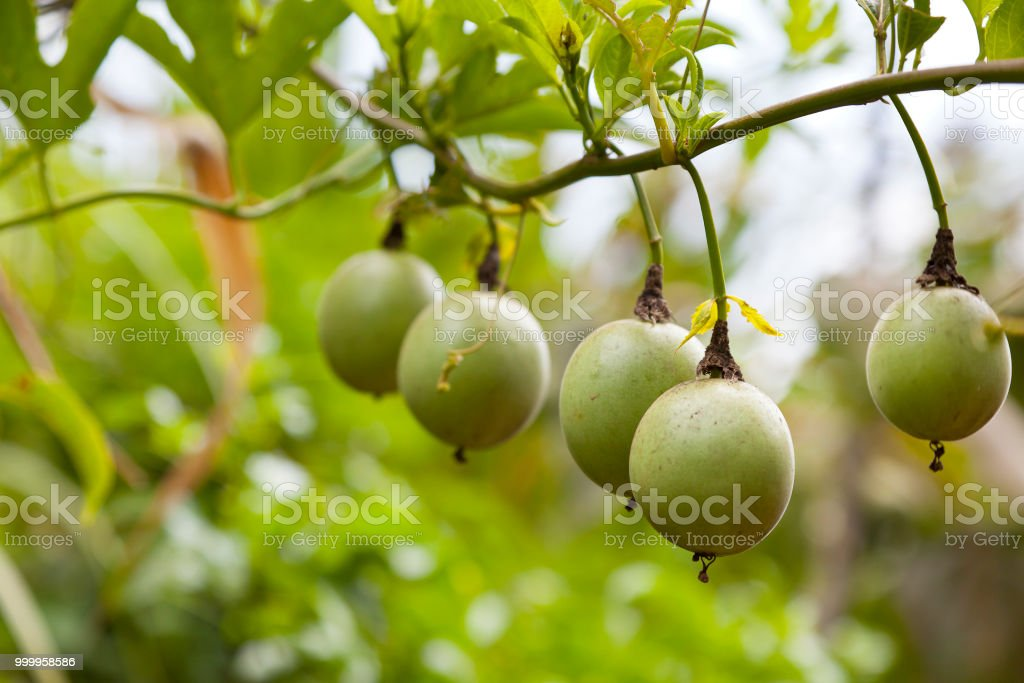 Maracujas auf einem Baum – Foto