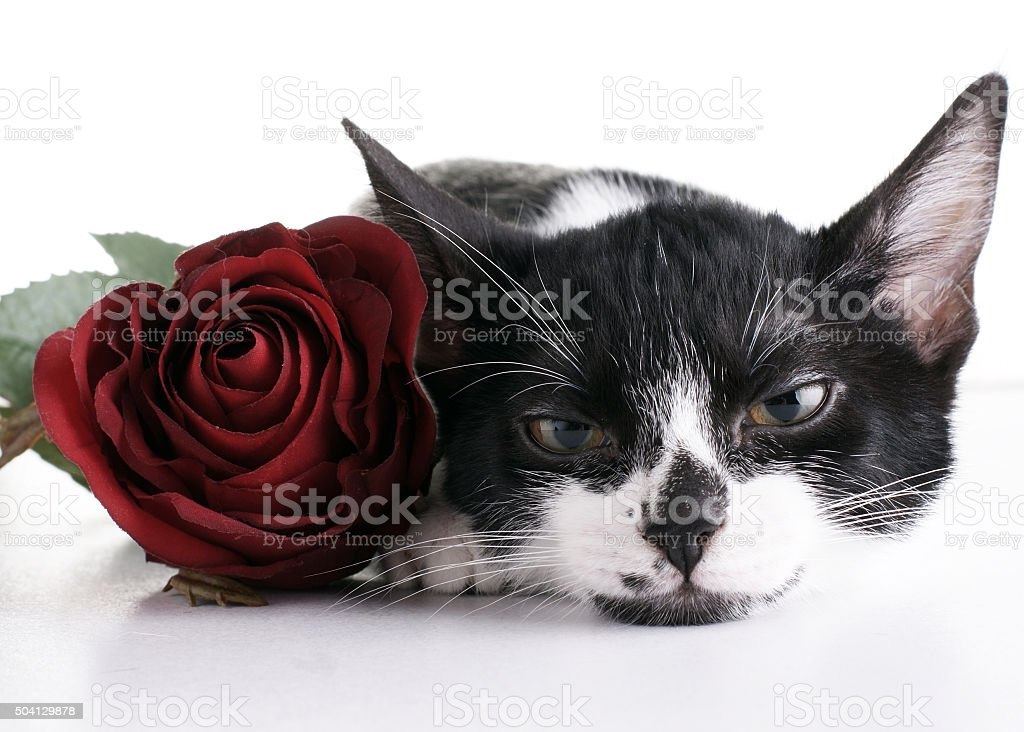 passionate cat stock photo