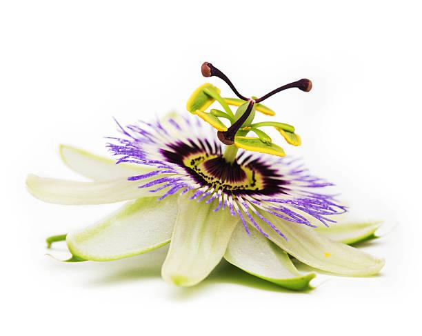 꽃 시계 덩굴 - 시계꽃속 뉴스 사진 이미지