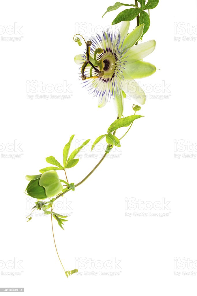 passionflower with a bud on the white stock photo