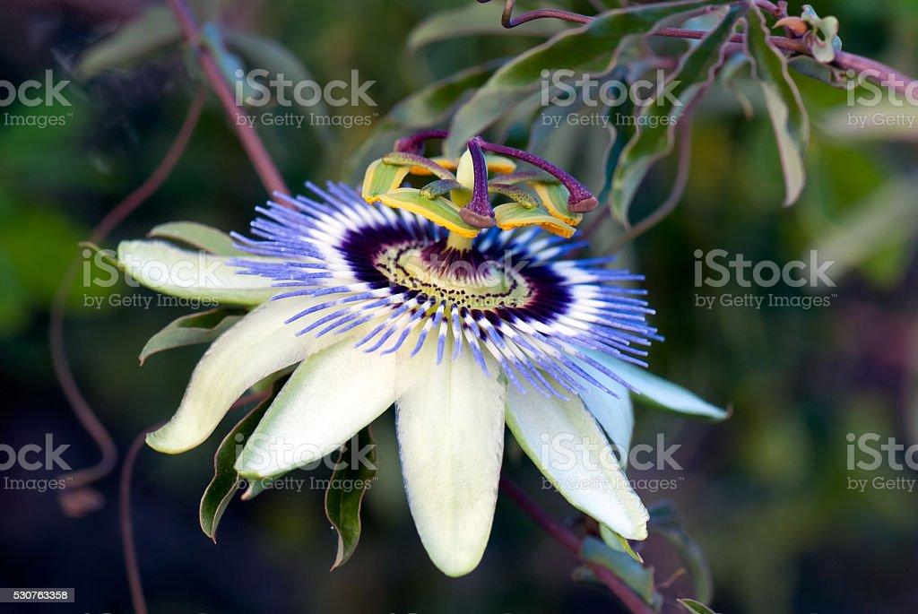 Passionfruit flower (Passiflora edulis) stock photo