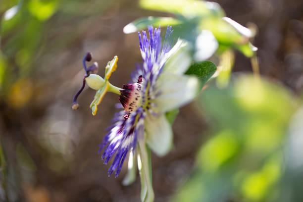 Passions Blume – Foto
