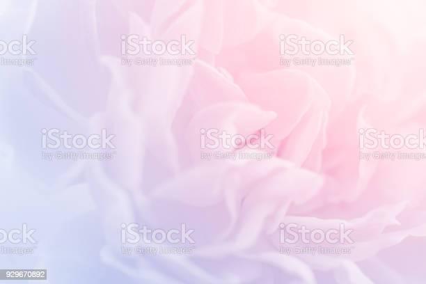 Pastel color rose background picture id929670892?b=1&k=6&m=929670892&s=612x612&h=3bfakiakj0h4f06vovoqjcw8iyqetputt1 fupohnx4=