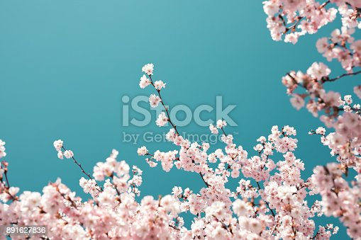 Spring background with blooming cherry branches.