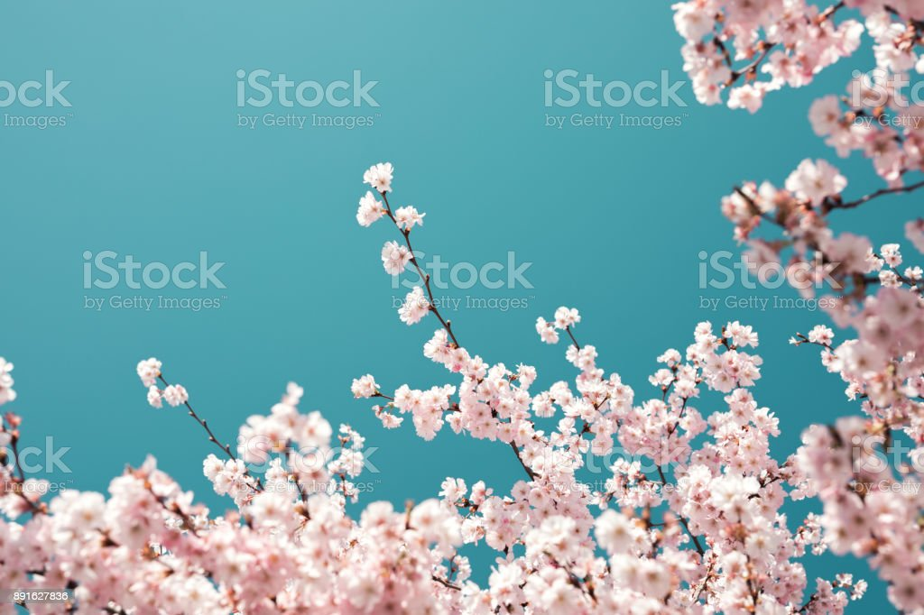 Pastel Colored Cherry Blossoms stock photo