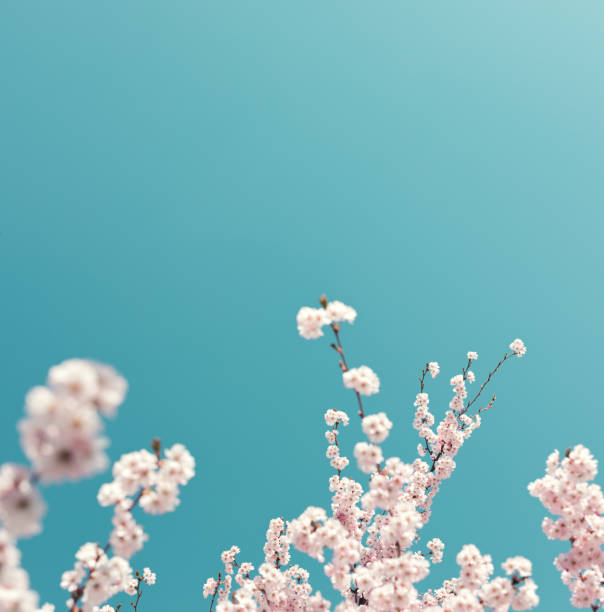pastel colored cherry blossoms - sakura background stock photos and pictures