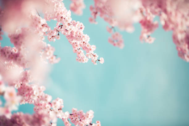 pastel colored cherry blossoms - cherry blossoms imagens e fotografias de stock