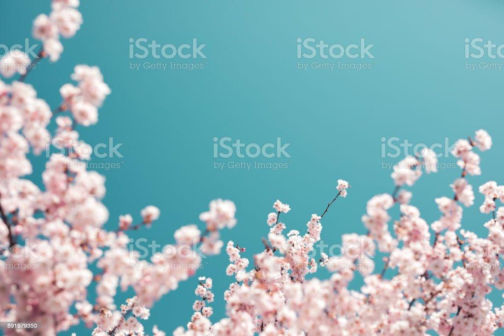 Fleurs de cerisier couleurs pastels - Photo