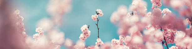 pastel colored panoramic cherry blossoms - blossom stock pictures, royalty-free photos & images