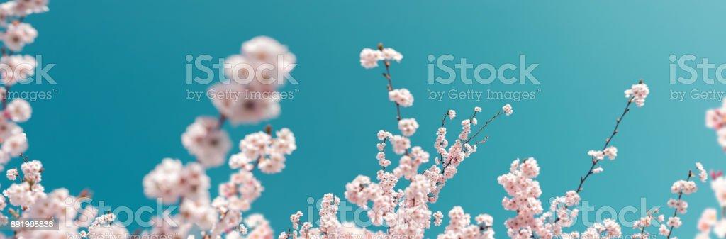 Cerisiers en fleurs panoramiques couleurs pastels - Photo