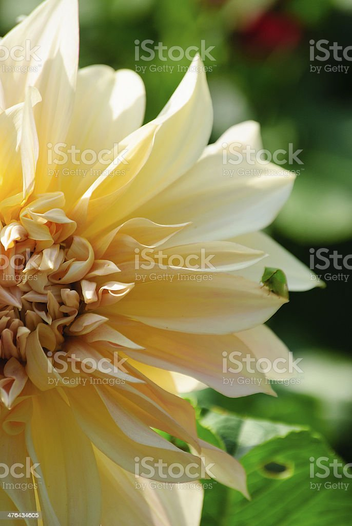 Pastel dahlia royalty-free stock photo