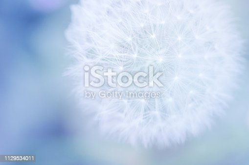 Dandelion seed head with copy space and soft pastel colors