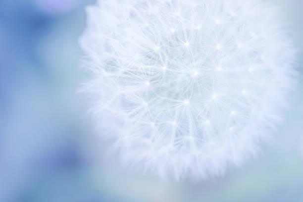 Pastel dandelion close up picture id1129534011?b=1&k=6&m=1129534011&s=612x612&w=0&h=c2ak4j5oxzdhpjwoxbyo8rrttqlx6vouglkl4b efbs=