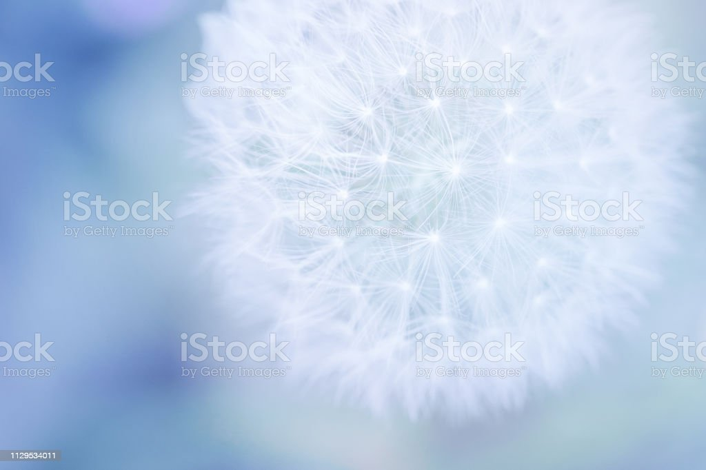 Pastel Dandelion Close Up stock photo