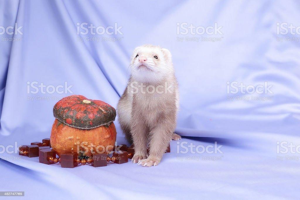 pastel ferret stock photo