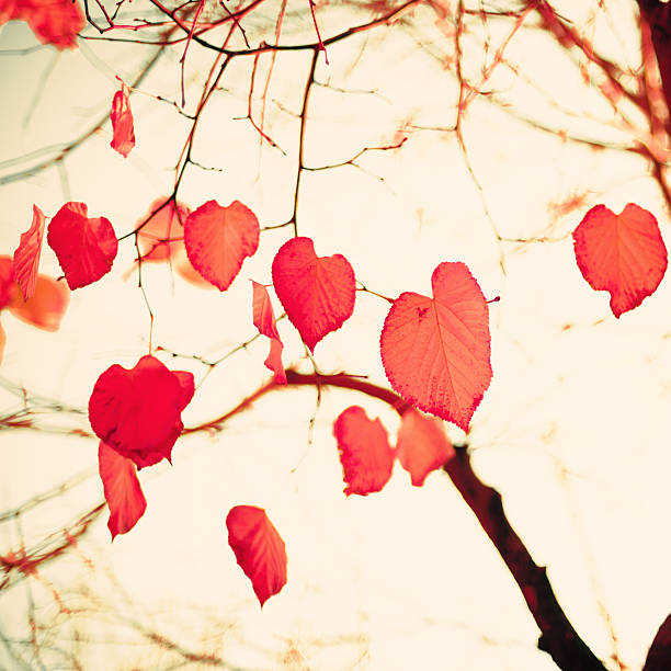 Pastel Heart-shaped autumn leaves stock photo