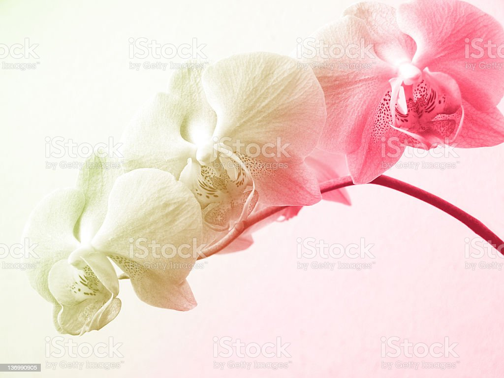 Pastel orchids stock photo