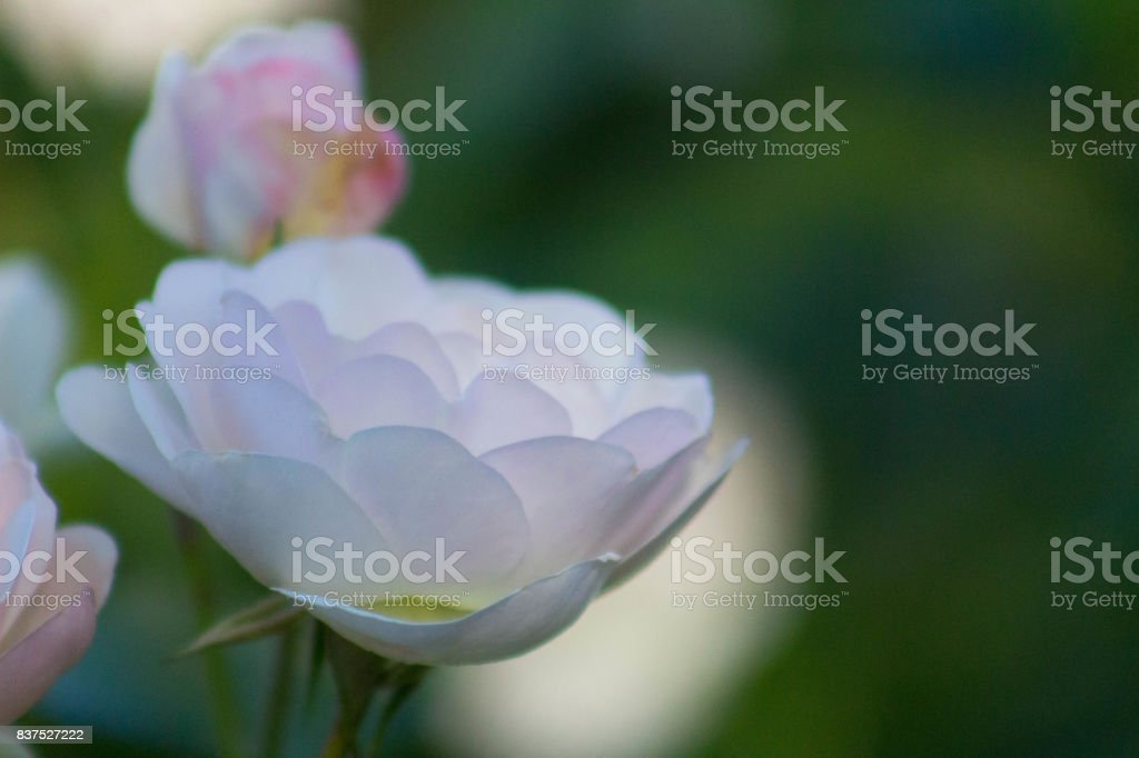 Pastel Peace Rose stock photo