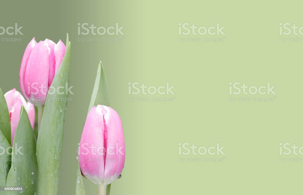 Pastel pink tulips on graded green background stock photo