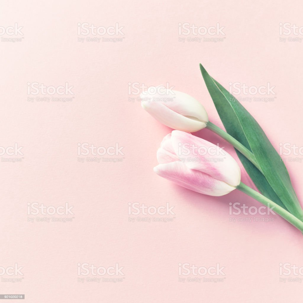 Pastel Pink Tulips on Pink Paper Background stock photo
