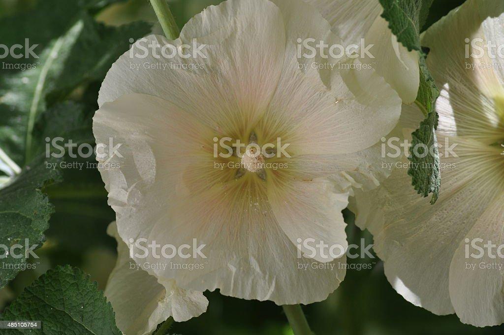 Pastel Poppy stock photo