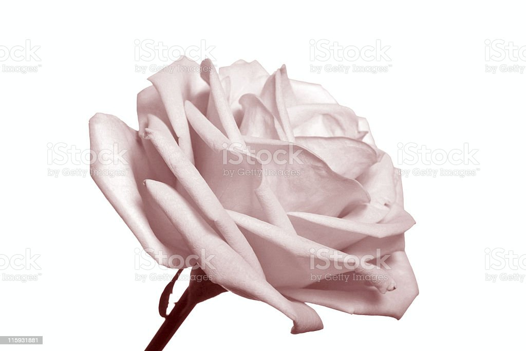 pastel rose stock photo