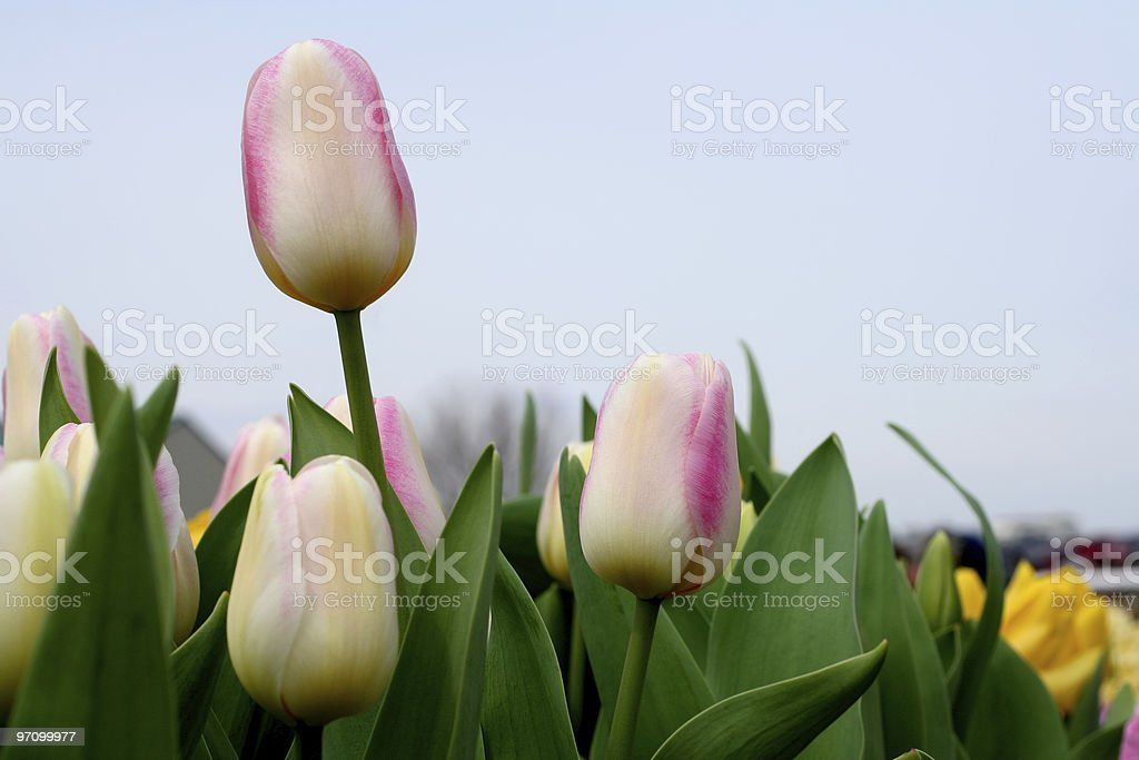 Pastel Tulips in April royalty-free stock photo
