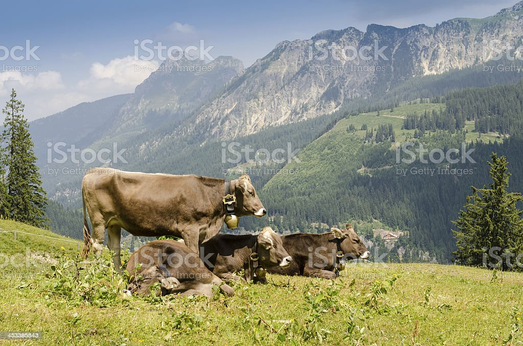 Pastoral economy with cattles on a pasture stock photo