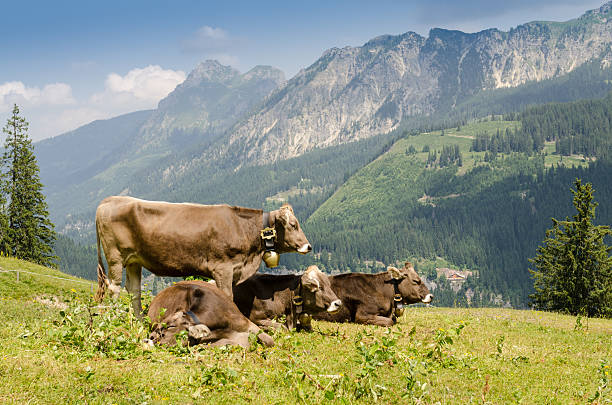 ländlicher wirtschaft mit cattles auf viehweide - allgäu stock-fotos und bilder