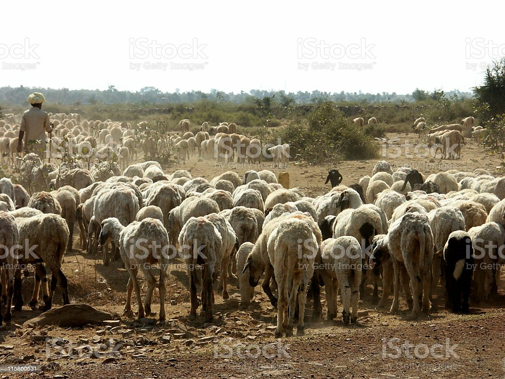Pastoral scene with flock of sheep and shepherd,Rajasthan,India royalty-free stock photo