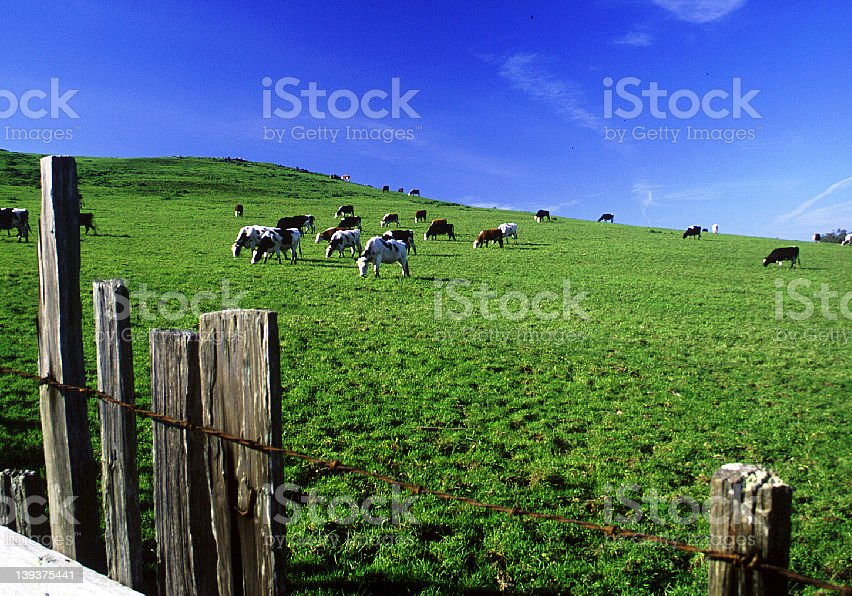 Pasture and Cows stock photo