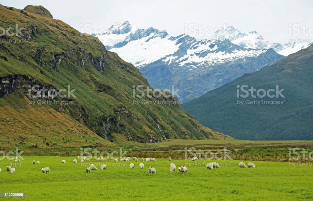 Pasture and sheep in Mt Aspiring NP stock photo