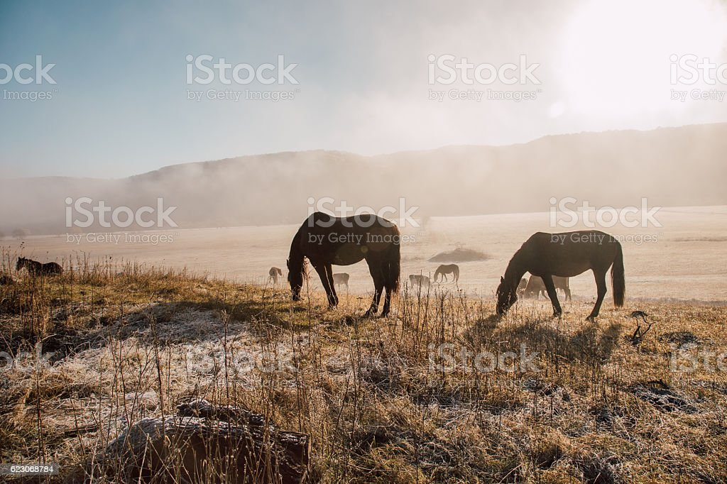 Pasture cows and horses in the early morning stock photo