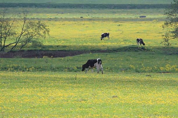 Viehweide für Kühe – Foto