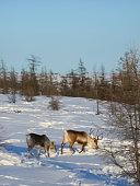 Bilibino, Russia - January 23, 2015: Pasture for grazing a herd of reindeer. Reindeer in Chukotka, Chukchi farming.