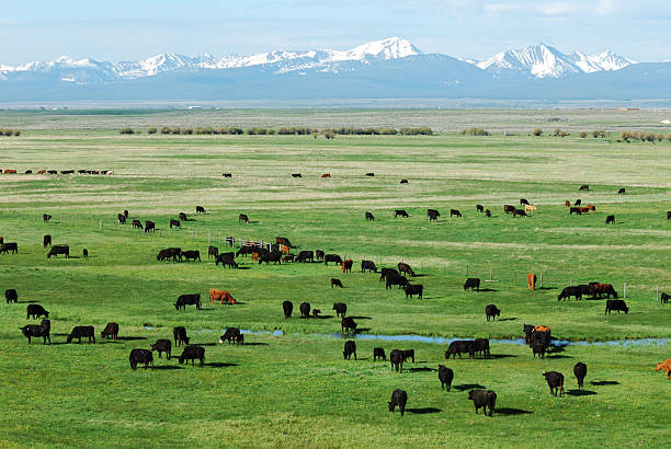 Pasture, Mountains and Cattle stock photo