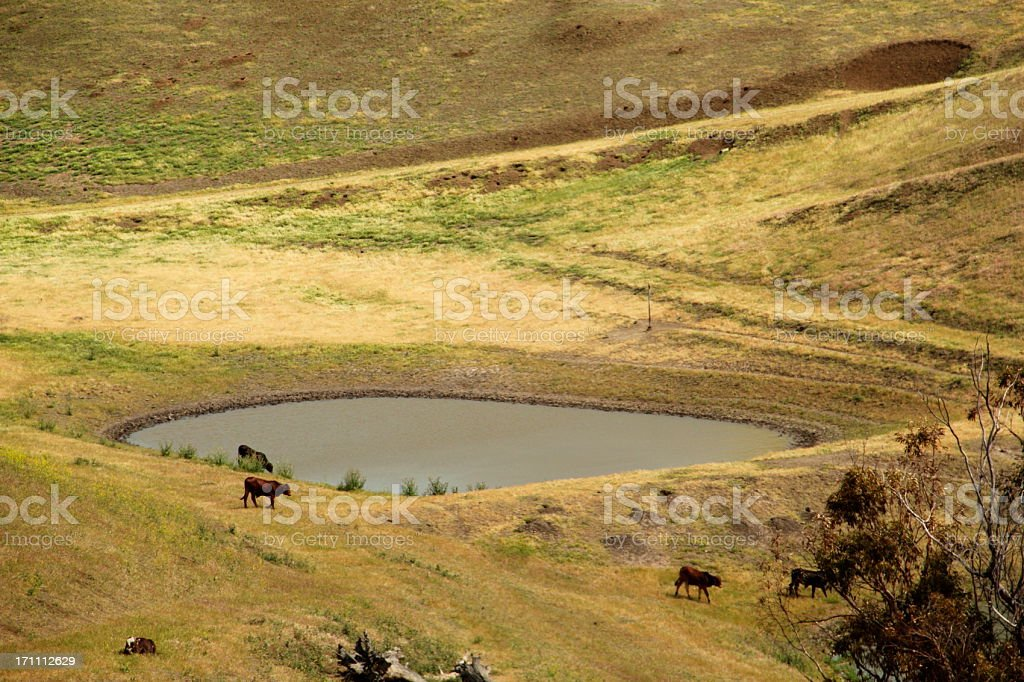 Pasture Pond Cows Field royalty-free stock photo