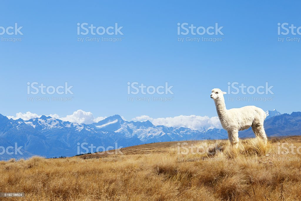 pasture with animal and mountains  in new zealand stock photo