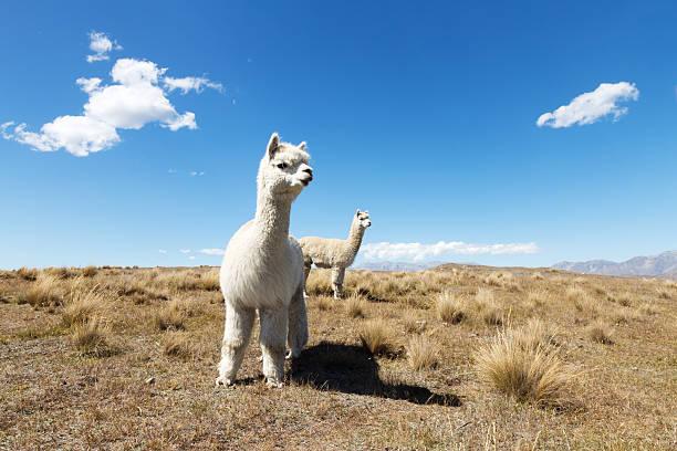 pasto con animales en día soleado de verano en nueva zelanda - alpaca fotografías e imágenes de stock