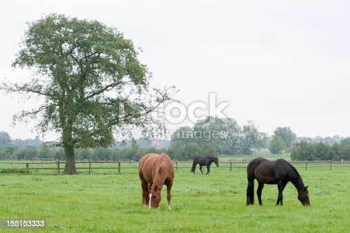 Big solitary oak tree and pasture with three horses grazing. Location: Lower Saxony, Germany.