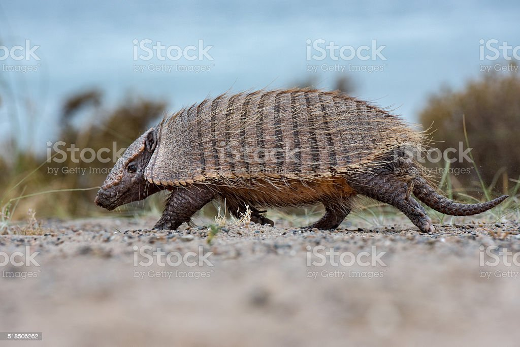 patagonia armadillo close up portrait stock photo