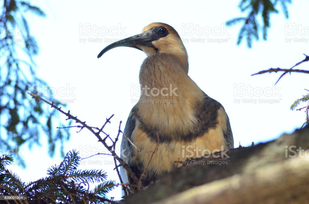 Patagonian bird - foto de stock